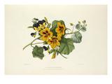 Nasturtium & Heartsease Giclee Print by Charles Joseph Hullmandel
