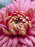 Chrysanthemum Bronze Mayford Perfection Photographic Print by Carol Sheppard