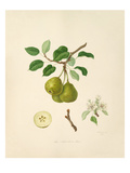 The Aston Town Pear Giclee Print by William Hooker
