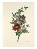 Dahlia Giclee Print by Charles Joseph Hullmandel