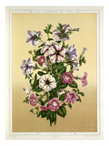 Petunia Giclee Print by G Severeyns