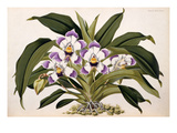 Bollea lawrenceana Giclee Print by Benjamin Samuel Williams