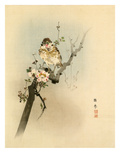 Malus sp. blossom with Sparrow Giclee Print