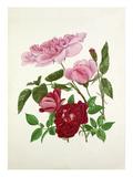 Rosa Madame de Sancy de Parabere, Rosa Amadis Premium Giclee Print by Graham Stuart Thomas