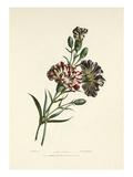 Carnations Giclee Print by Charles Joseph Hullmandel