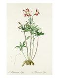 Alstroemeria ligtu Giclee Print by Pierre-Joseph Redout&#233;