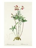Alstroemeria ligtu Premium Giclee Print by Pierre-Joseph Redouté