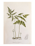Polypodium dryopteris Giclee Print by John Edward Sowerby