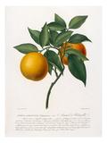 Citrus aurantium Giclee Print by Antonio Targioni-Tozzetti