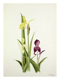Roscoea spp Giclee Print by Graham Stuart Thomas