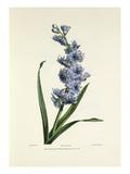 Hyacinth Giclee Print by Charles Joseph Hullmandel