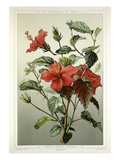Hibiscus G&#233;n&#233;ral Courtigis Giclee Print by Fran&#231;ois Fr&#233;d&#233;ric Grobon