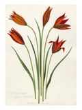 T. orphanidea (red forms) Giclee Print by John Paul Wellington Furse
