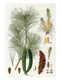 Pinus strobus Giclee Print by Worner