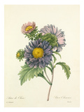 Aster de Chine, Aster Chinensis Premium Giclee Print by Joseph Marie Bessin