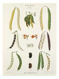 TAB XI, Album III Giclee Print by Ernst Benary