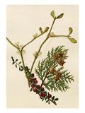 Cotoneaster microphyllus, Platycladus orientalis, Viscum album Giclee Print by Caroline Maria Applebee