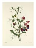 Sweet Pea Premium Giclee Print by Charles Joseph Hullmandel