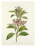 Enkianthus quinqueflorus Giclee Print by Joseph Marie Bessin