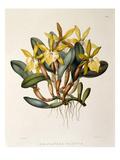 Rhyncholaelia glauca Giclee Print by M. Gauci
