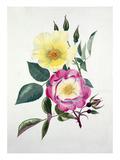 Rosa Golden Wings, Rosa Erfurt Giclee Print by Graham Stuart Thomas