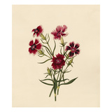 Dianthus chinensis Giclee Print by Caroline Maria Applebee
