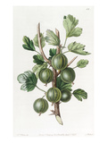 The Early Green Hairy Gooseberry Giclee Print by S. Watts