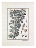 Acacia longissimis spinis alba Giclee Print by Claude Aubriet