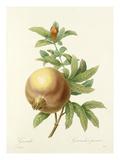 Grenade: Grenadier punica Giclee Print