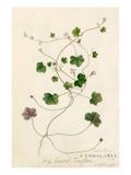 Antirrhinum, Cymbalaria Giclee Print by Georg Dionysius Ehret