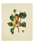 The Musch Musch Apricot Giclee Print by Augusta Innes Withers