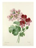 Geranium varieté Giclee Print by Joseph Marie Bessin