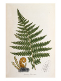 Lastrea filix-mas Giclee Print by John Edward Sowerby