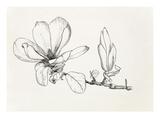 Magnolia × soulangeana Impressão giclée por Graham Stuart Thomas
