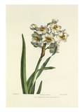 Narcissus Giclee Print by Charles Joseph Hullmandel