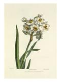 Narcissus Premium Giclee Print by Charles Joseph Hullmandel