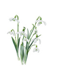 Galanthus caucasicus grandis Giclee Print by Edward Augustus Bowles