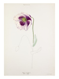Papaver somniferum Giclee Print by Lilian Snelling