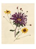 Callistephus chinensis, Coreopsis tinctoria Giclee Print by Caroline Maria Applebee