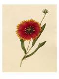 Gaillardia pulchella Giclee Print by Caroline Maria Applebee