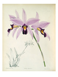 Laelia anceps Giclee Print by John Nugent Fitch