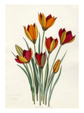 T. whittallii, T. hageri Giclee Print by John Paul Wellington Furse