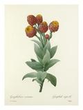 Gnaphalium csimium: Gnaphale superbe Giclee Print by  Chapuy