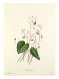 Cyclamen Giclee Print by  Langlois