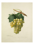 The Cannon Hall Muscat Grape Giclee Print by Augusta Innes Withers