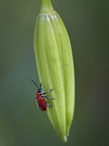 Lily beetle on a lily bud Photographic Print by Carol Sheppard