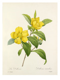 La Dillenne: Dillenia scandens Giclee Print by  Langlois
