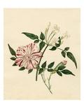 Dianthus caryophyllus Scarlet Flake: Jasminum officinale Giclee Print by Caroline Maria Applebee