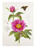 Paeonia Bakeri Giclee Print by Lilian Snelling