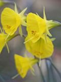 Carol Sheppard - Narcissus bulbocodium subsp. praecox Moulay Brahim - Fotografik Baskı